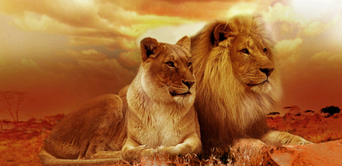 Lions couple solaire